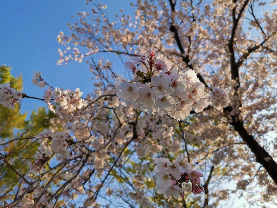 HUAWEI P30で撮影した桜の写真