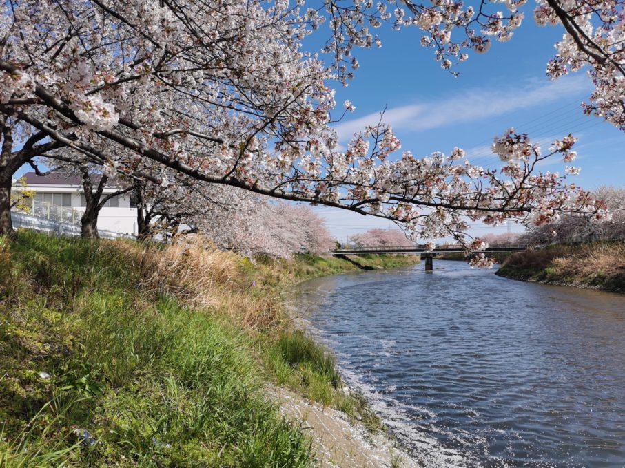 HUAWEI P30で撮影した桜と橋