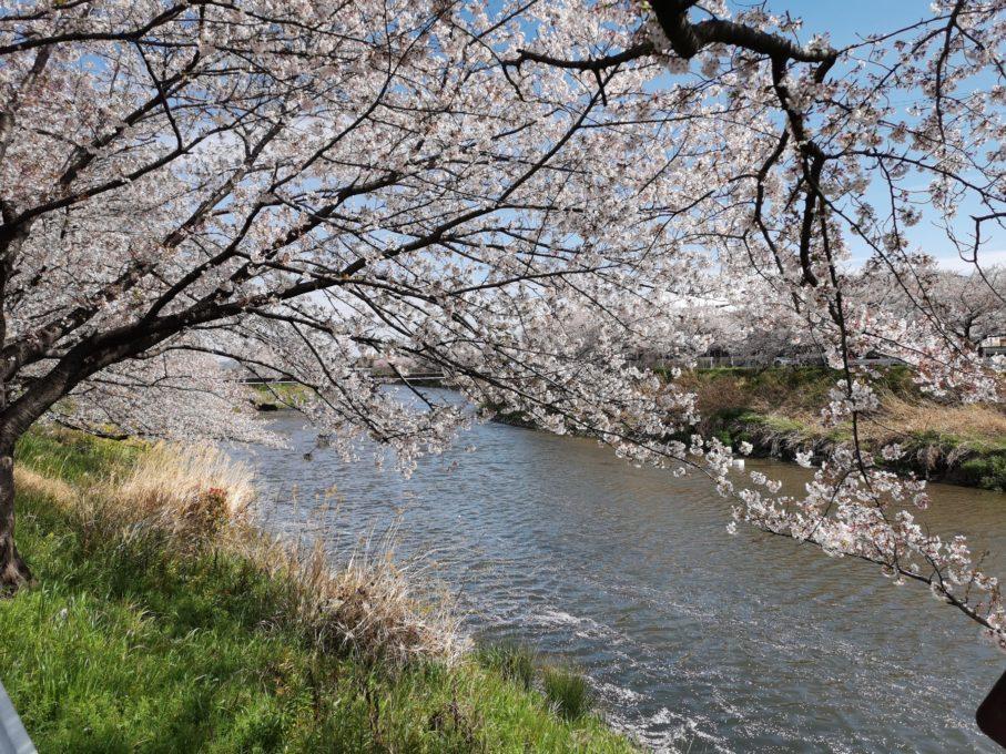 堤防でHUAWEI P30を使って撮影した桜