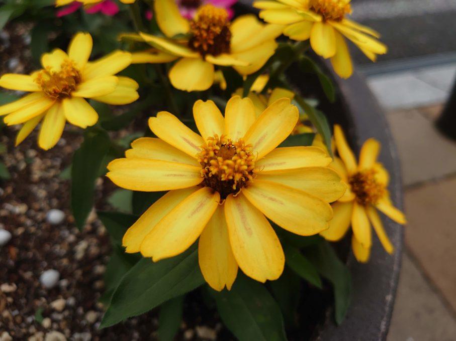 Xperia1で撮影した黄色の花