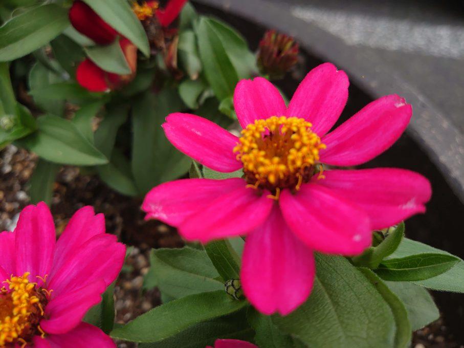 Xperia1で撮影したピンクの花