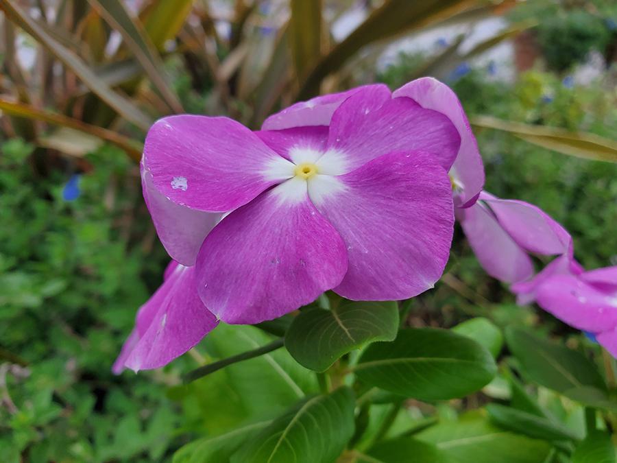 Galaxy Note10で撮影した花