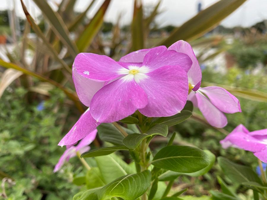 iPhone 11 Pro Maxで撮影した花