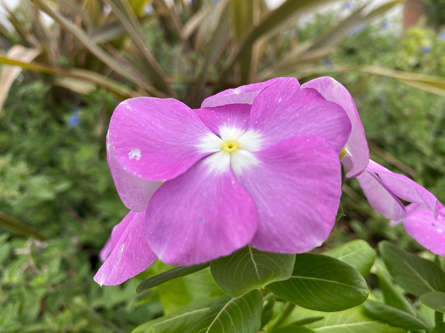 iPhone 11 Proで撮影した花