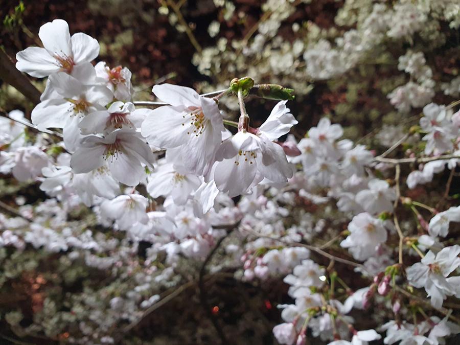 S10で撮影した桜と夜間