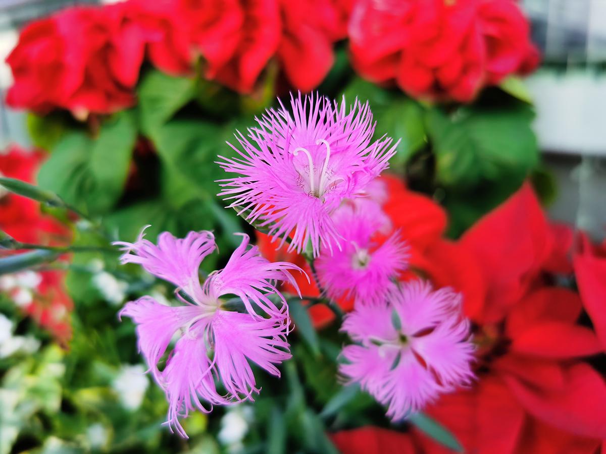 HUAWEI Mate 30 Proのカメラで撮影したピンクの花