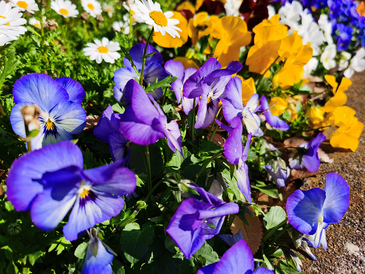 HUAWEI Mate 30 Proのカメラで撮影した青の花